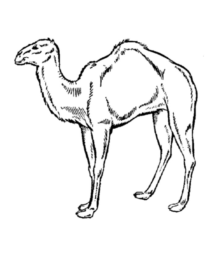 printable Free Printable Camel Coloring Pages For Kids for kindergarten