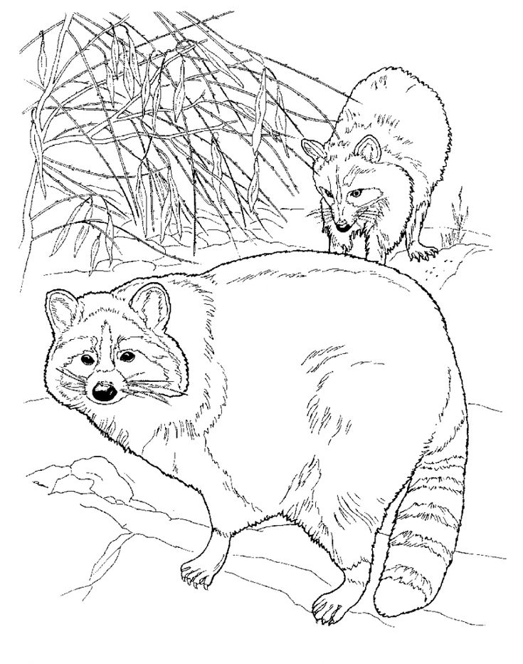 online Free Printable Raccoon Coloring Pages For Kids for adults